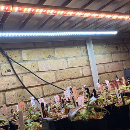 Nepenthes seedlings growing beneath my bench under LEDs.