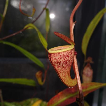 Nepenthes tenuis.