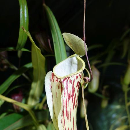 Nepenthes glabrata upper, about 15cm tall.