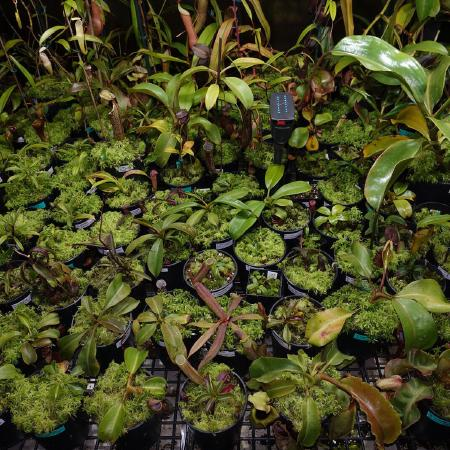 Nepenthes seedlings.
