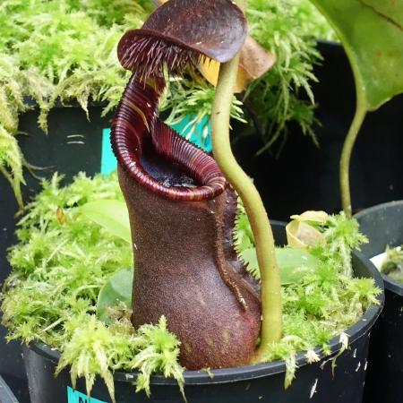 Nepenthes lowii Trusmadi.