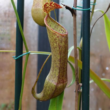 Nepenthes tobaica, female.