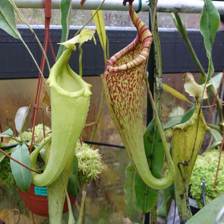 Two forms of N. maxima (right bought as N. eymae).