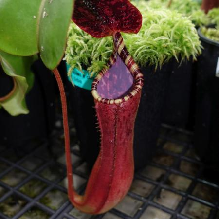 Nepenthes lowii x clipeata.