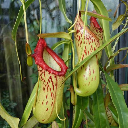 Nepenthes burkei.