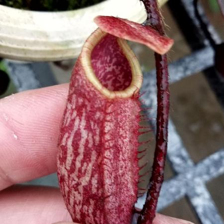 An immature pitcher from a rooted basal on a seed grown N. peltata, courtesy of Jack Chiang.