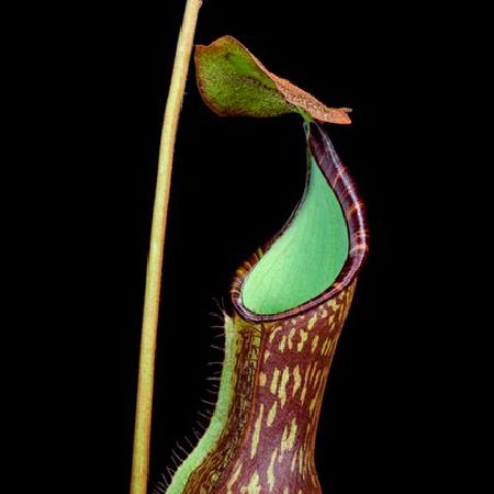 Nepenthes justinae