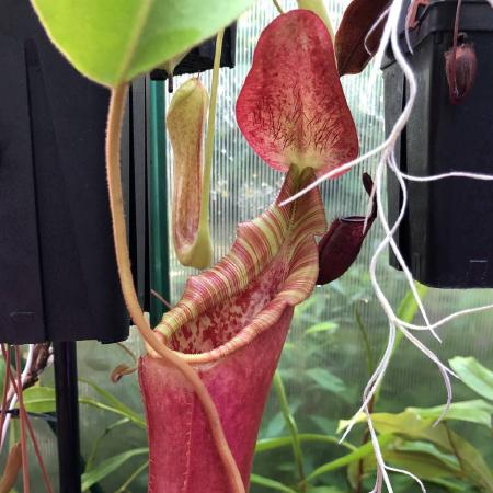 The reverse of the previous hybrid, this is Nepenthes lowii x veitchii, grown by David Durie.
