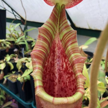 Nepenthes lowii x veitchii, grown by David Durie..
