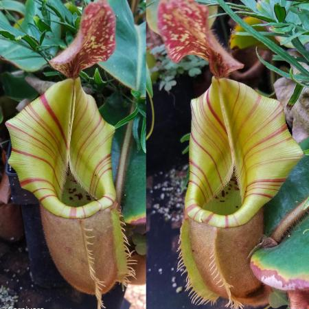 Nepenthes veitchii '#5'