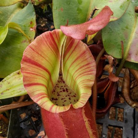 Nepenthes veitchii 'Pink Candy Cane'