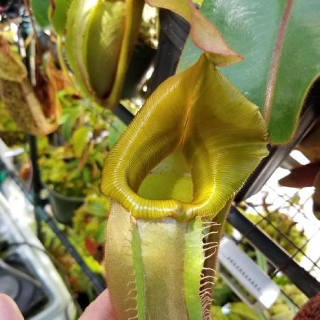 Nepenthes veitchii 'Batu Lawi' from Wistuba, grown by Francis Bauzon.