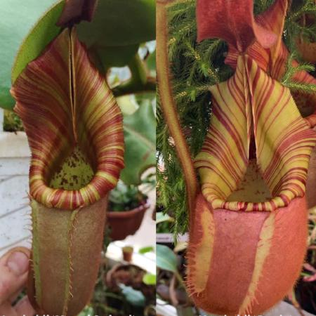 The parent plants of Nepenthes veitchii 'Murud Striped' x 'Candy', photographed by me in Chris Klein's greenhouse.