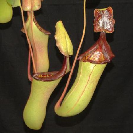 Nepenthes veitchii x lowii, from Borneo Exotics. Rob Cantley tells me it's the only plant to have caught rats in their nurseries, probably because it exudes nectar on the underside of the lid, a trait it has inherited from N. lowii.