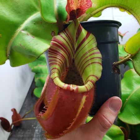 Nepenthes veitchii (m), an Exotica Plants grex, grown by Michael Fallen.