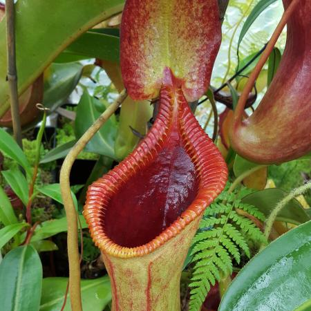 Nepenthes x trusmadiensis