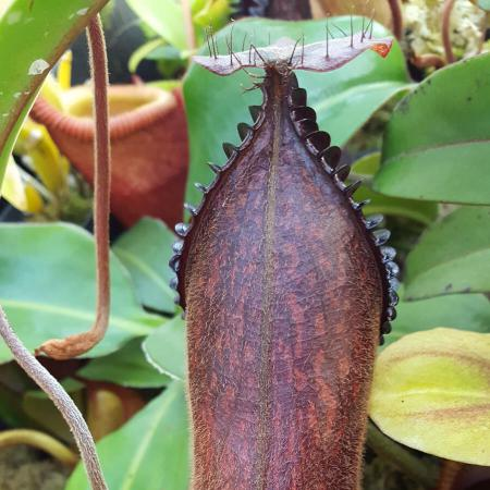 Nepenthes 'Smilodon' (hamata x 'red hairy hamata')