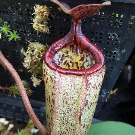 Nepenthes x alisaputrana (rajah x burbidgeae)