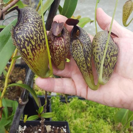 Nepenthes aristolochiodes