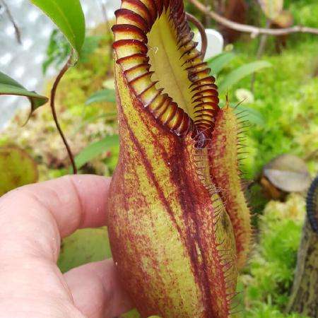Nepenthes 'red hairy hamata'