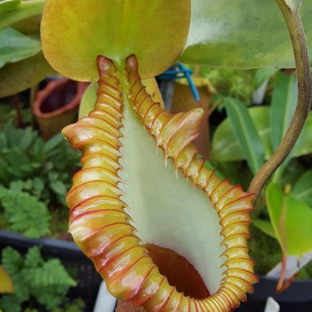 Nepenthes macrophylla (AW)