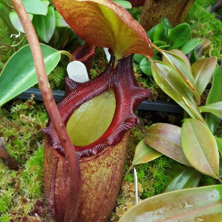 Nepenthes rajah (BE)