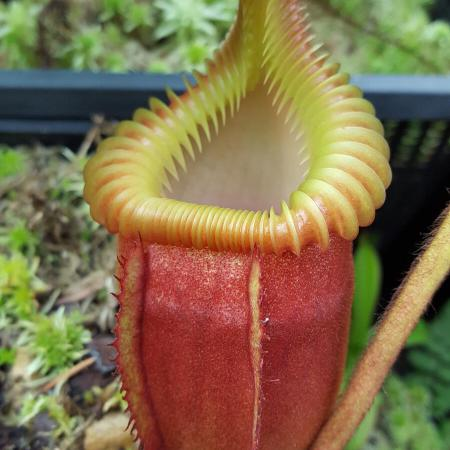 Nepenthes villosa (BE)
