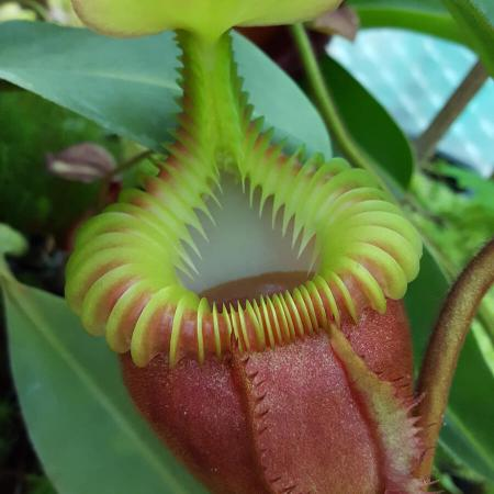 Nepenthes villosa)