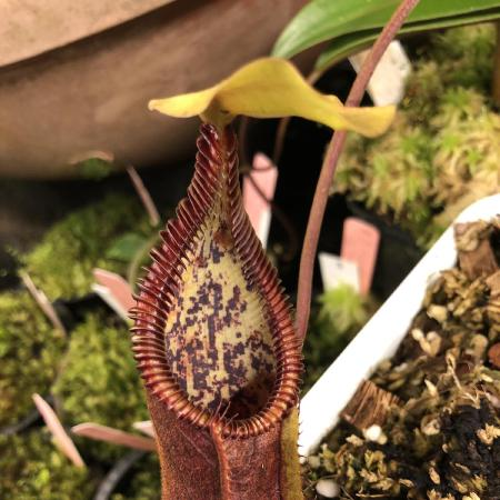Nepenthes singalana x 'Red Hairy Hamata', lower pitcher.