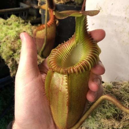 Nepenthes villosa.