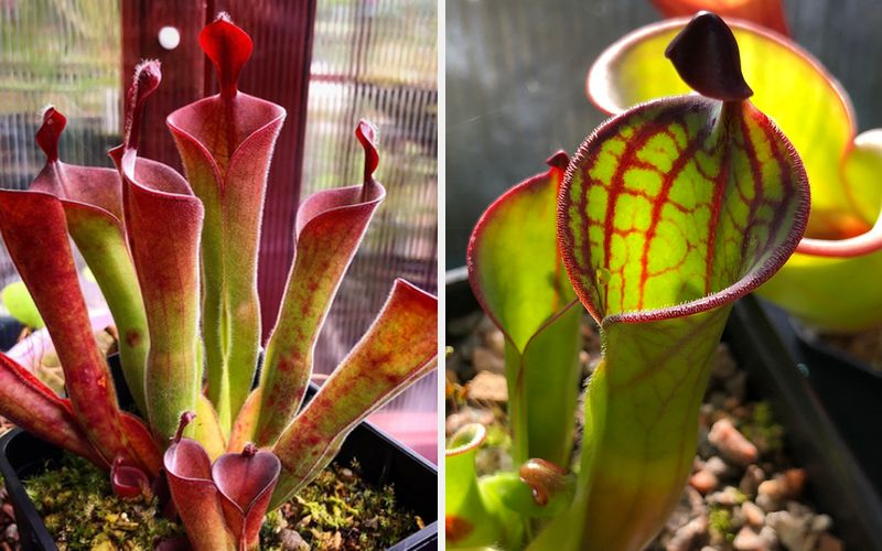 Today I'm very pleased to be welcoming David Durie to the blog. David is owner and operator of Scotland-based carnivorous plant nursery Alba Exotics...