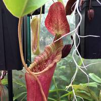 Nepenthes lowii x veitchii
