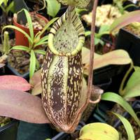 Nepenthes spectabilis 'giant'