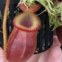 Nepenthes villosa BE