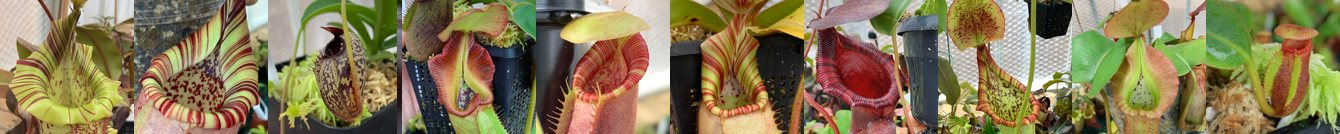 I sell limited quantities of rare and beautiful Nepenthes pitcher plants, raised for sale in my personal greenhouse. This includes a mixture of seed-grown species and hybrids.