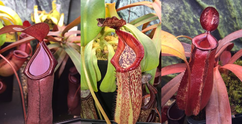Nepenthes - also known as tropical pitcher plants - can be trickier to grow, but there are many species popular with beginners.
