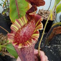 Nepenthes (lowii x veitchii) x boschiana - red ruffled.