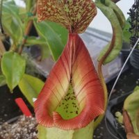 *Nepenthes (Rokko x boschiana) x veitchii*.