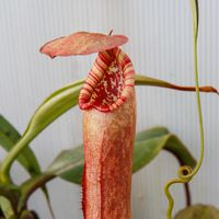 Nepenthes bokorensis.