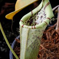 Nepenthes burbidgeae x campanulata (BE 3564).