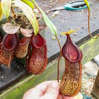 Nepenthes burkei x hamata )BE 3594).