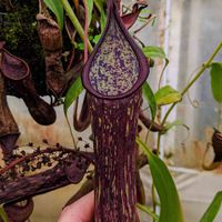Nepenthes copelandii.