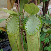 Nepenthes hamata (Lumut), upper pitchers.