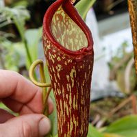 Nepenthes klossii x maxima.