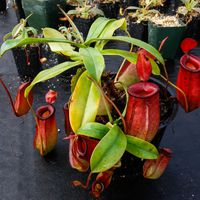 Nepenthes 'Lady Luck' from Borneo Exotics.