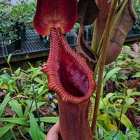Nepenthes macrophylla x lowii 'SG'.