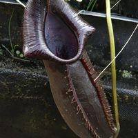 Nepenthes naga Dark.