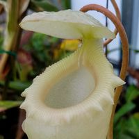 Nepenthes sibuyanensis, upper pitcher.