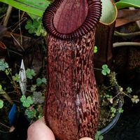 Nepenthes sibuyanensis x hamata, BESG (1 of 2).