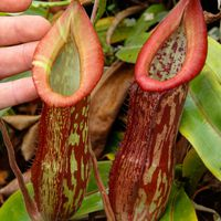 Nepenthes 'Splendid Diana'.
